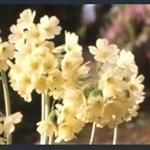 Picture of Primula elatior 'Magnifica'