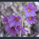 Picture of Primula elatior subsp. meyeri