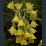 Picture of Primula florindae