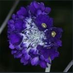 Picture of Primula glomerata