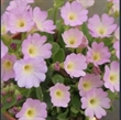 Picture of Primula 'Hemswell Blush'