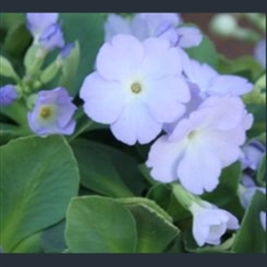 Picture of Primula 'Jackie Richards'