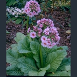 Picture of Primula japonica 'Apple Blossom'