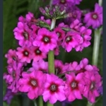 Picture of Primula japonica 'Carminea'