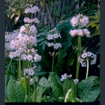 Picture of Primula japonica 'Postford White'