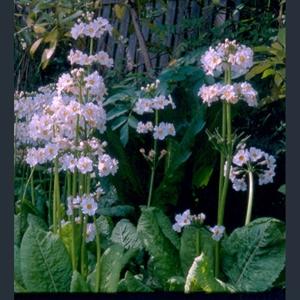 Picture of Primula japonica 'Postford White'