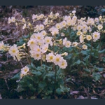 Picture of Primula 'Lady Greer'