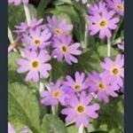 Picture of Primula laurentiana