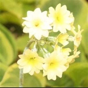 Picture of Primula luteola