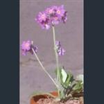 Picture of Primula modesta var. fauriae