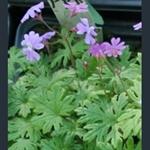 Picture of Primula palmata