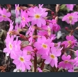 Picture of Primula 'Peter Klein'
