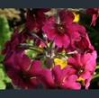 Picture of Primula pulverulenta