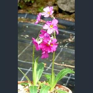 Picture of Primula rusbyi