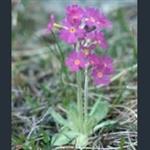 Picture of Primula scandinavica
