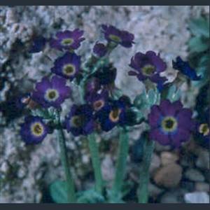 Picture of Primula scotica