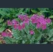 Picture of Primula sieboldii