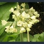 Picture of Primula sikkimensis var. pudibunda