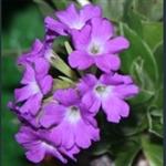 Picture of Primula spectabilis