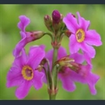 Picture of Primula stenodonta