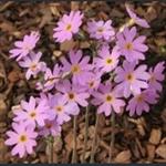 Picture of Primula stricta