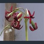Picture of Primula tangutica