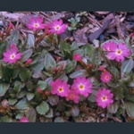 Picture of Primula warshenewskiana