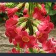Picture of Primula wilsonii var. wilsonii