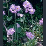 Picture of Primula zambalensis