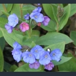 Picture of Pulmonaria angustifolia