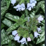 Picture of Pulmonaria 'Ocupol'