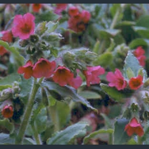 Picture of Pulmonaria rubra 'Redstart'