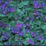 Picture of Pulmonaria 'Victorian Brooch'
