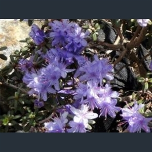 Picture of Rhododendron impeditum