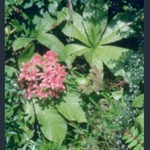 Picture of Rodgersia aesculifolia