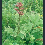 Picture of Rodgersia pinnata 'Maurice Mason'