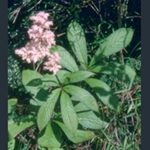 Picture of Rodgersia pinnata 'Superba'