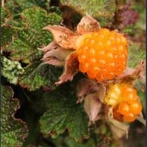 Picture of Rubus calycinoides