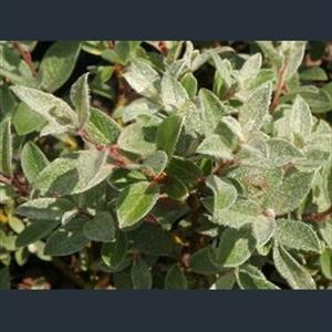 Picture of Salix lapponum compact