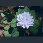 Picture of Sanguinaria canadensis f. multiplex 'Plena'