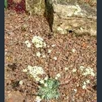 Picture of Saxifraga 'Doctor Clay'