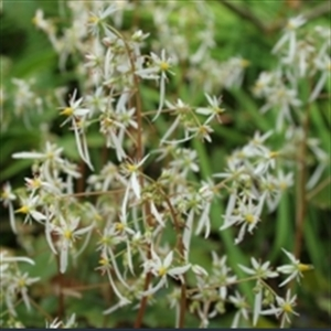 Picture of Saxifraga fortunei 'Wada'