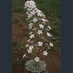 Picture of Saxifraga longifolia hybrids
