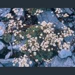 Picture of Saxifraga paniculata ex Austria