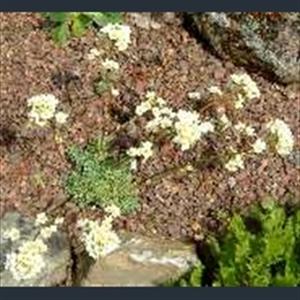 Picture of Saxifraga 'Rainsley Seedling'