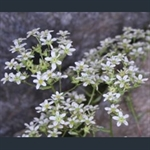 Picture of Saxifraga 'Vreny'