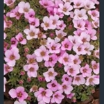 Picture of Saxifraga 'Your Song'