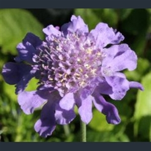 Picture of Scabiosa japonica var. alpina