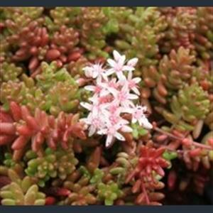 Picture of Sedum album 'Coral Carpet'