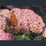 Picture of Hylotelephium (Sedum) 'Autumn Joy'